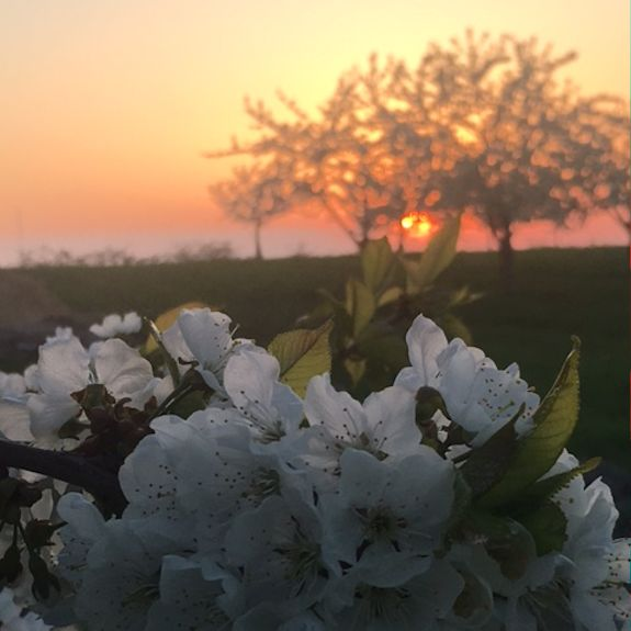 Cherry Blooms at Sunset